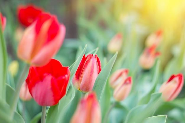 Erste frühlingsblumen, rote tulpen, weiches sonnenlicht Premium Fotos
