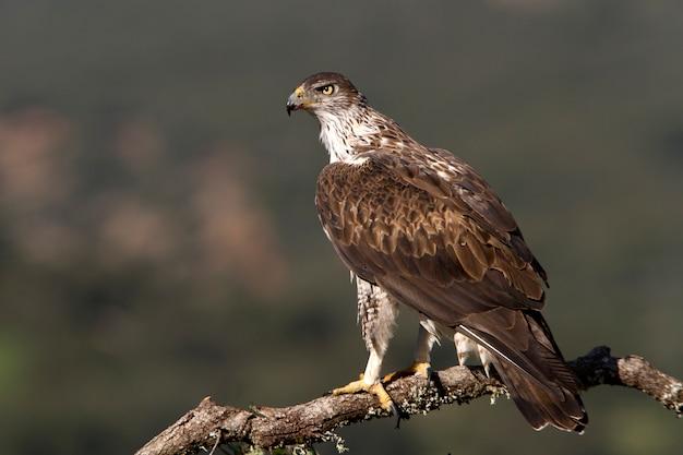 Erwachsener mann von bonellis adler, raubvögel, vögel Premium Fotos