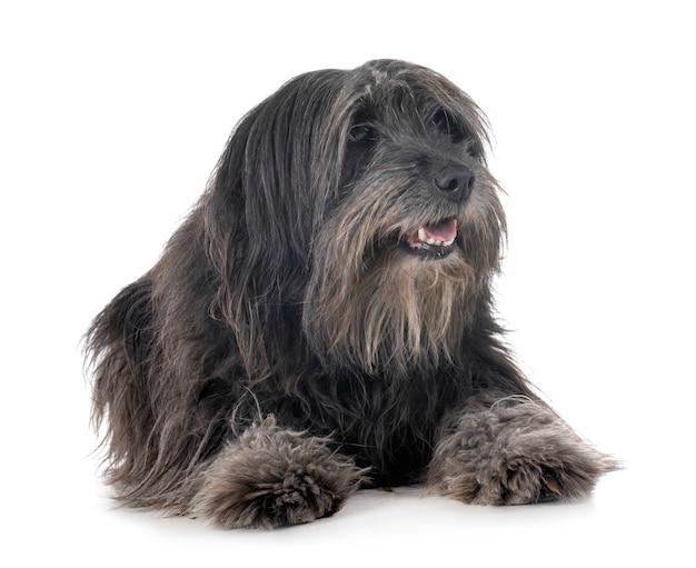 Erwachsener pyrenäischer schäferhund Premium Fotos