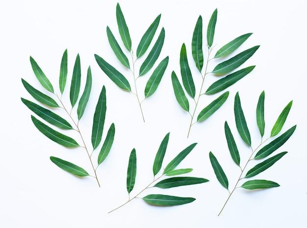 Eukalyptuszweige auf weißem hintergrund Premium Fotos