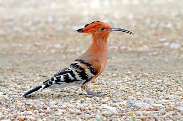 Eurasischer wiedehopf upupa epops schöne vögel von thailand Premium Fotos