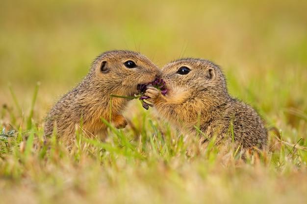 Europäische erdhörnchen stehen dicht beieinander Premium Fotos
