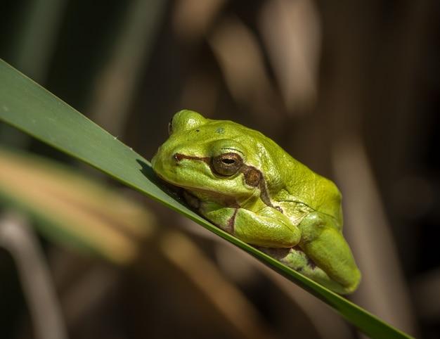 Europäischer grüner laubfrosch hyla arborea in der natürlichen umgebung Premium Fotos