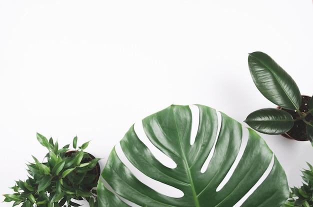Exotischer tropischer pflanzenrahmen mit monstera und ficus auf weißem hintergrund Premium Fotos