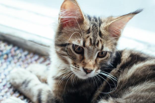 Extrem nahaufnahmeporträt des inländischen dreifarbigen kätzchens der getigerten katze maine coon einige monate alt. Premium Fotos
