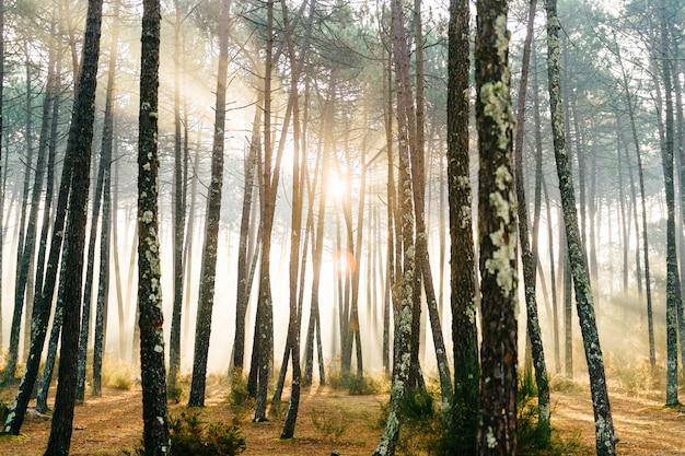 Fabelhafter europäischer wald. malerischer sonnenaufgang in portugal. märchenhafte aussicht. herrliche sonnenstrahlen in kiefern. Premium Fotos