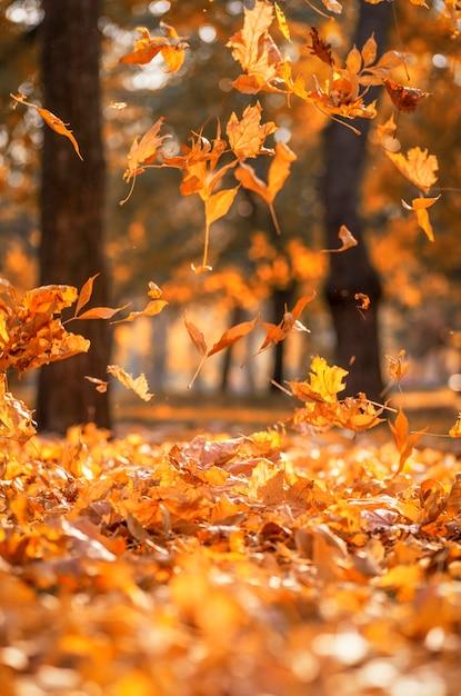Fallende trockene gelbe ahornblätter auf einem herbst Premium Fotos