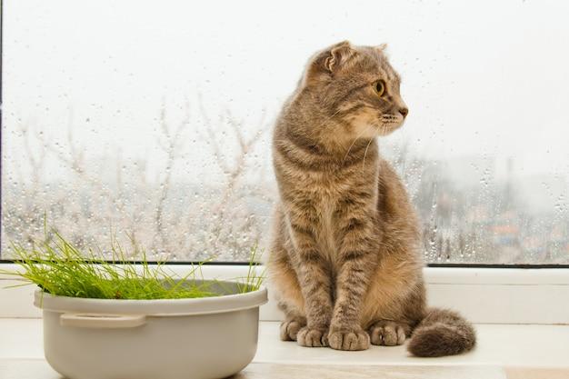 Falten sie die schottische katze, die auf dem fensterbrett sitzt Premium Fotos