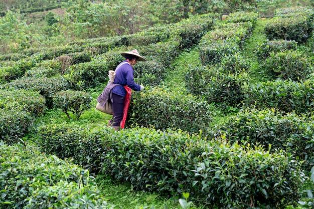 Famer halten tee in der teeplantage mae hong son Premium Fotos