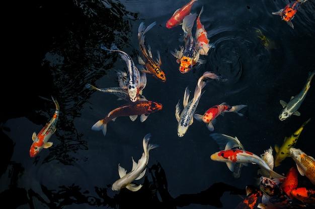Fancy carp schwimmen im teich, fancy carp sind golden, Premium Fotos