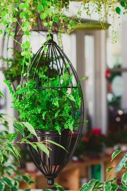 Farn in hängenden pflanzgefäßen Premium Fotos