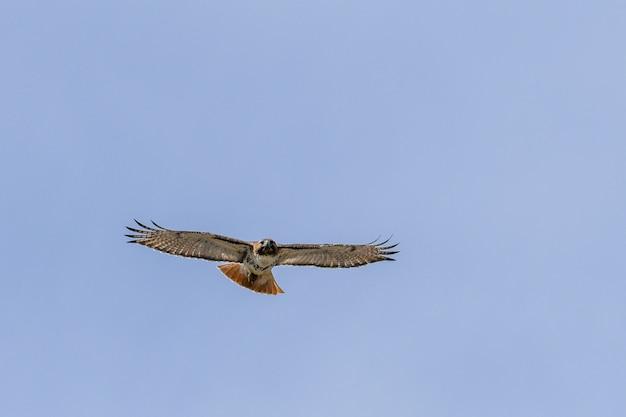 Faszinierende ansicht des falkenvogels, der im blauen himmel fliegt Kostenlose Fotos