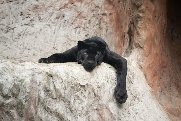 Fauler schwarzer panther Premium Fotos