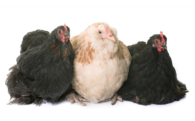 Faverolle und pekin chicken Premium Fotos