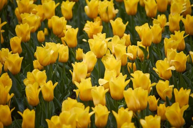 Feld der gelben tulpen im frühjahr nach regen Premium Fotos