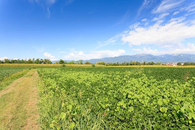 Feld der sojabohne mit bergen im hintergrund italienische landwirtschaft Premium Fotos