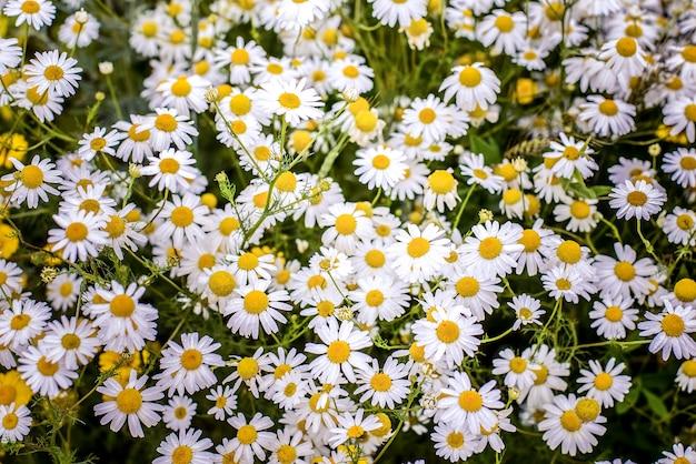 Feld der weißen gänseblümchen Premium Fotos