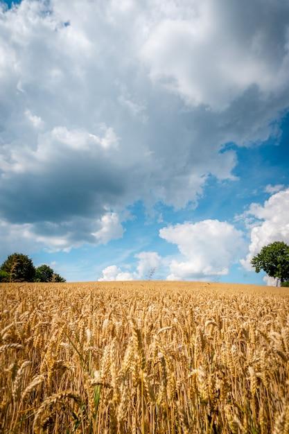 Feld des goldenen weizens unter dem blauen himmel und den wolken Premium Fotos
