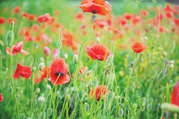 Feld mit blühenden roten mohnblumen. Premium Fotos