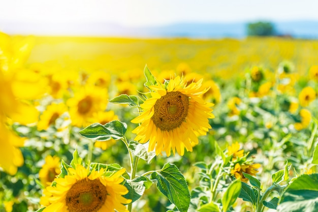 Feld von blühenden sonnenblumen in valensole Premium Fotos