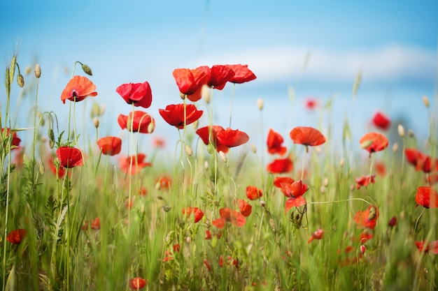 Feld von poppy flowers papaver-rhoeas im sommer, selektiver fokus Premium Fotos