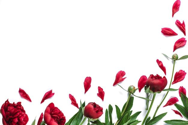 Feld von roten pfingstrosenblumen auf weiß Premium Fotos