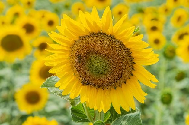 Feld von schönen blühenden sonnenblumen nahe valensole Premium Fotos