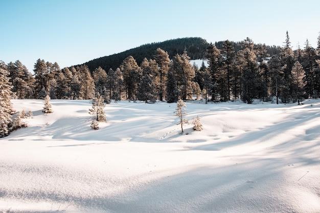 Fichtenwald im winter mit schnee bedeckt Kostenlose Fotos