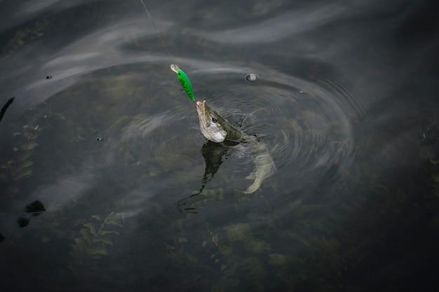 Fisch erschien auf der oberfläche von wasser gefangen in angelhaken Kostenlose Fotos
