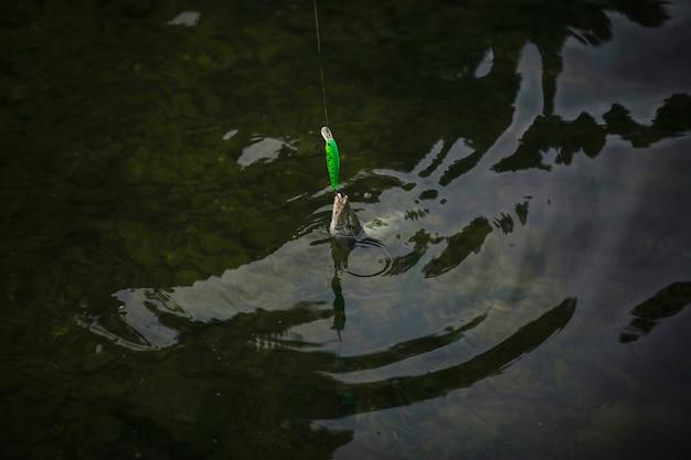 Fisch zog auf der wasseroberfläche Kostenlose Fotos
