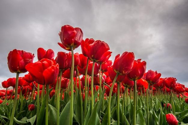 Flacher winkelschuss einer roten blume, die mit einem bewölkten himmel im hintergrund abgelegt wird Kostenlose Fotos