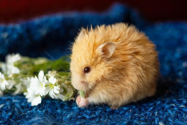 Flaumiger hamster mit blumen auf blau Premium Fotos