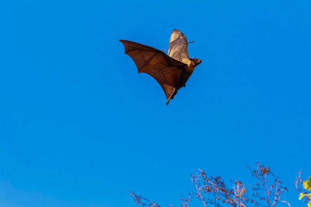 Fledermäuse fliegen Premium Fotos
