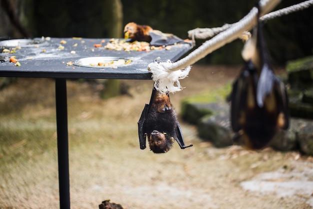 Fledermäuse hängen im zoo-käfig. riesiger flughund mit goldenen kronen. Premium Fotos