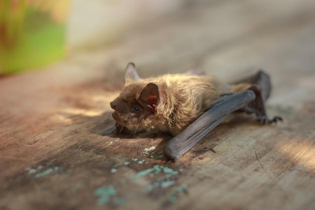 Fledermaus klein auf einem holztisch am nachmittag Premium Fotos