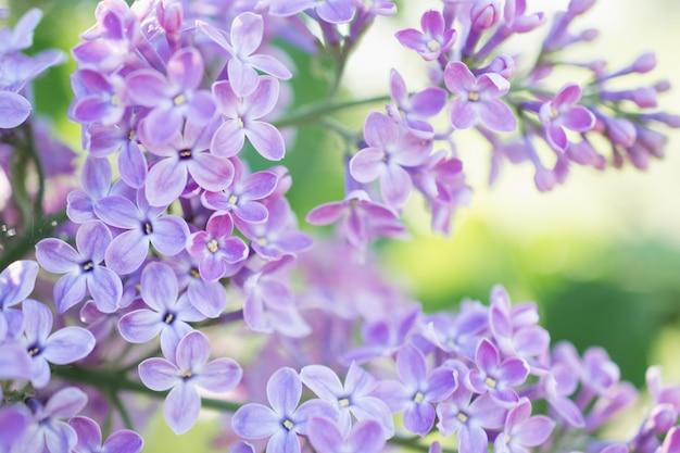 Fliederblüten blühen im frühlingsgarten. weicher selektiver fokus. frühlingssaison des natürlichen hintergrunds der blumen. Premium Fotos