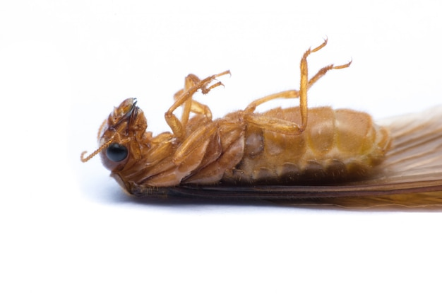 Fliegende termite oder alates lokalisiert auf weiß Premium Fotos