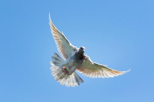 Fliegengeschwindigkeitstaubenvogel gegen klaren blauen himmel Premium Fotos