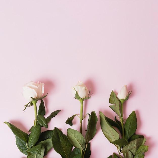 Folgen von blühenden weißen rosen auf rosa hintergrund Kostenlose Fotos