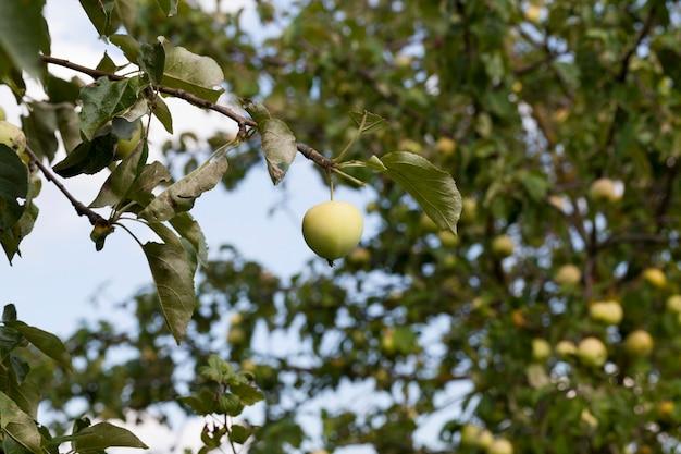 Foto einer nahaufnahme von grünen unreifen äpfeln. kleine schärfentiefe Premium Fotos