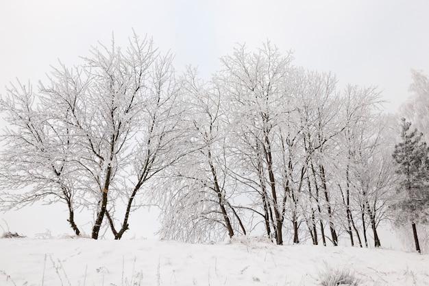 Fotografierte bäume, die in der wintersaison im wald wachsen. auf den zweigen bildete sich ein raureif. auf dem boden liegt schnee nach schneefall Premium Fotos