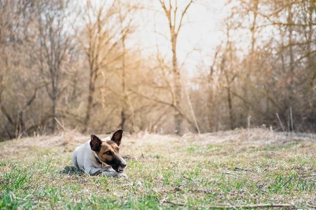 Foxterrierwelpe, der einen stock in einem park kaut. Premium Fotos