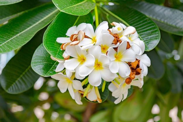 Frangipaniblumen schließen herauf schönen plumeria. Premium Fotos