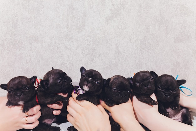 Französische baby-bulldoggenwelpen, die welpen sitzen und zur seite schauen. Premium Fotos