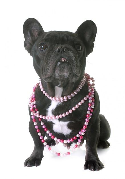Französische bulldogge im studio Premium Fotos