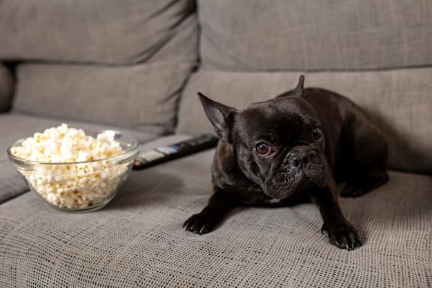 Französischer bulldoggenhund, auf der couch, mit popcorn, mit einem traurigen gesicht Premium Fotos
