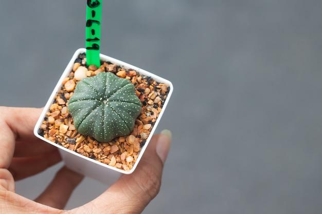 Frauenhand, die einen topf astrophytum-kaktus hält Premium Fotos