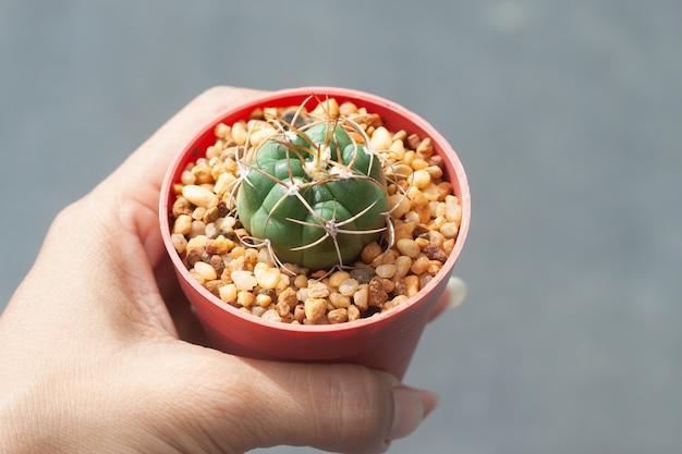 Frauenhand hält topf mit gymnocalicium cactus, Premium Fotos