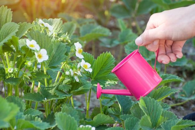 Frauenhand mit einer kleinen rosa gießkanne. Premium Fotos