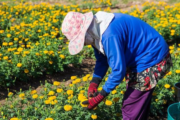 Frauenlandwirt, der ringelblume für den verkauf im bauernhof schneidet Premium Fotos